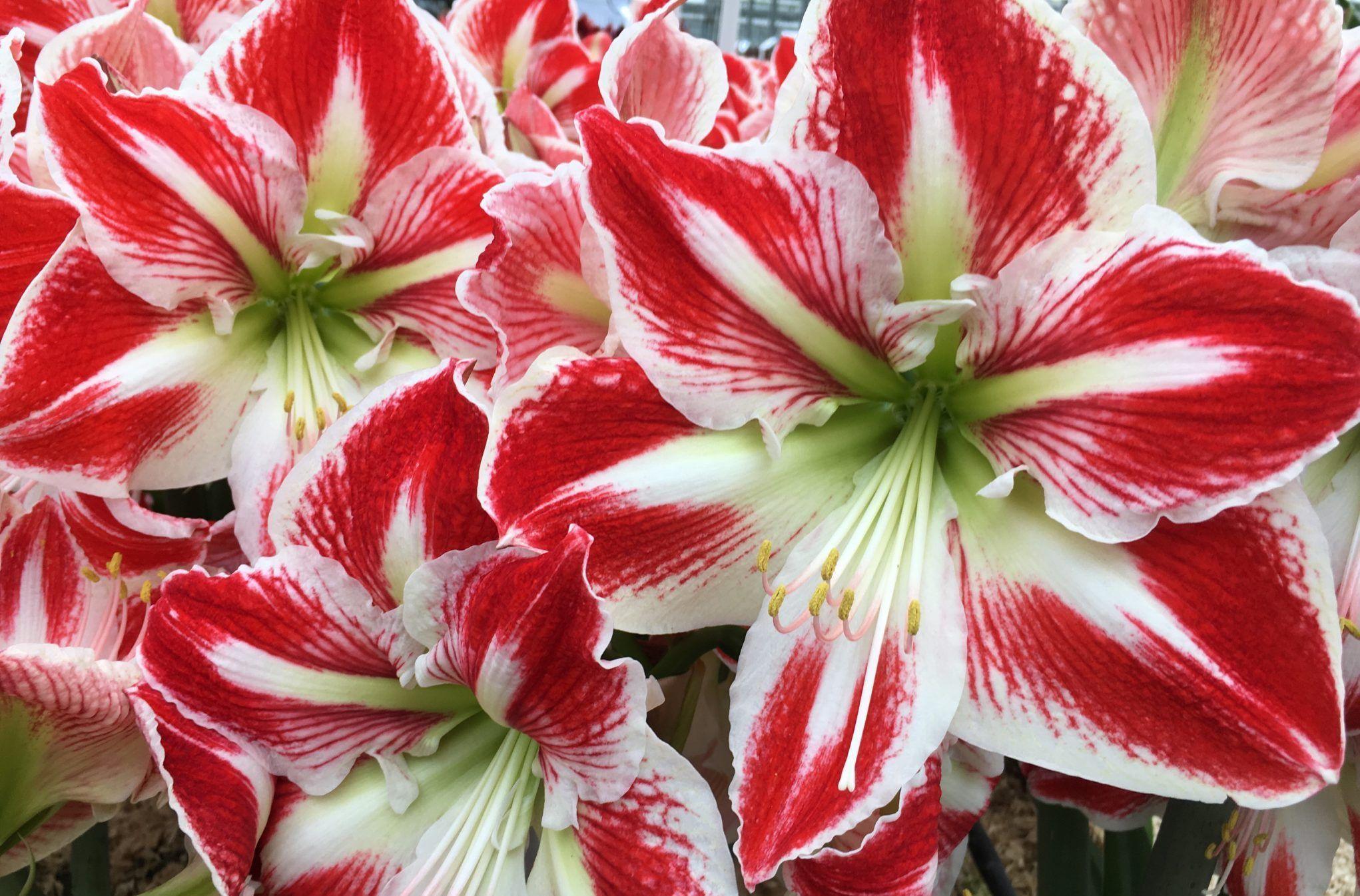 Amaryllis Spartacus Royal Colors Amaryllis Flowers Amaryllis Amaryllis Bulbs