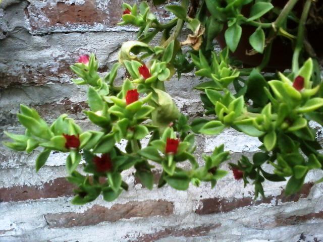 Suculentas y crasas colgantes buscar con google for Plantas suculentas colgantes