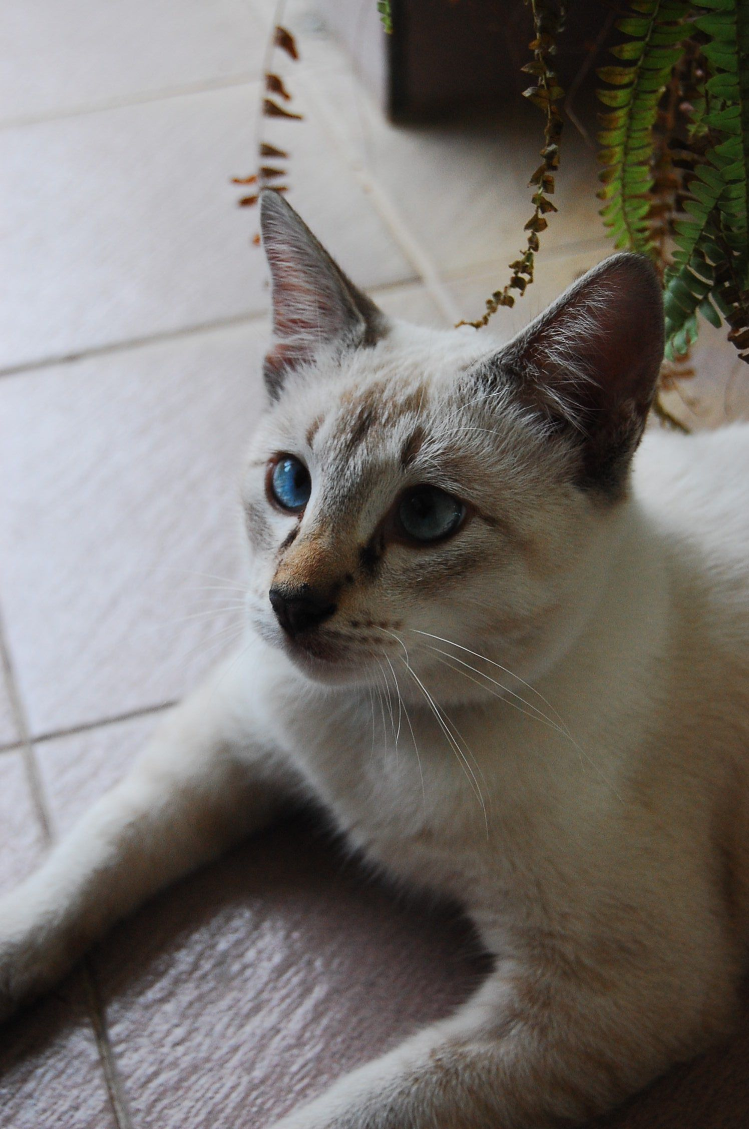 Siam the Balinese cat