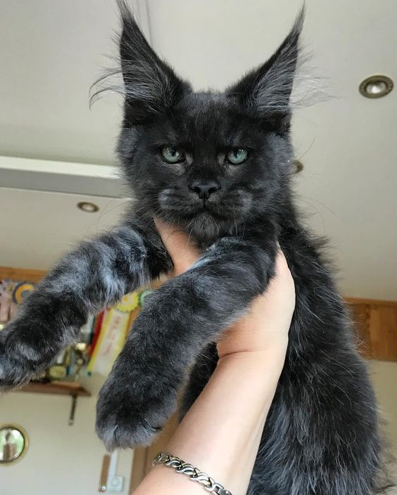 Are Maine Coon Cats Family Friendly?  #catbreeds