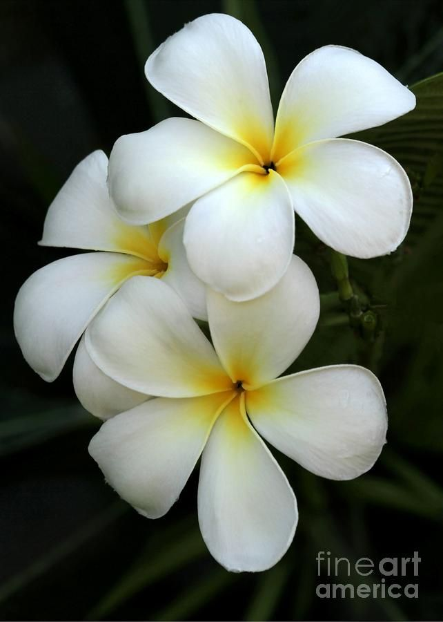 Everything about Plumeria Flower | Hibiskus und Sehen