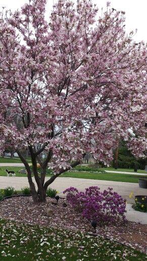 Magnolia Tree Blooming April In Wisconsin Gardening Magnolia
