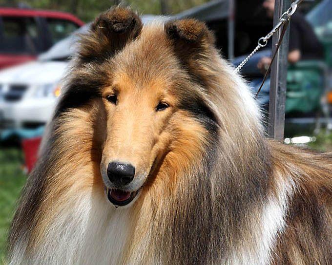 Grand Champion Devinwood A Perfect Stranger Aka Finn Rough Collie Collie Herding Dogs