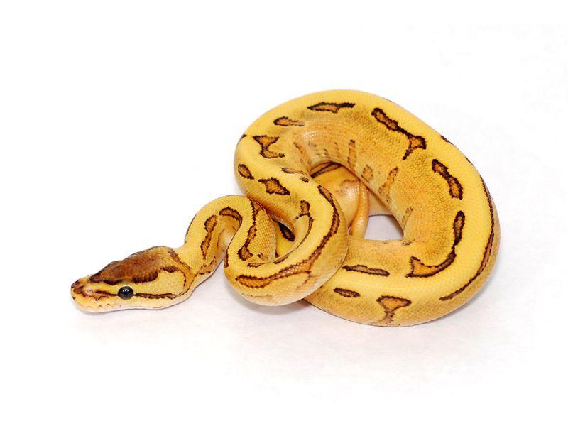 Orange Dream Fire Pinstripe Yellow Belly Ball Pythons Ball