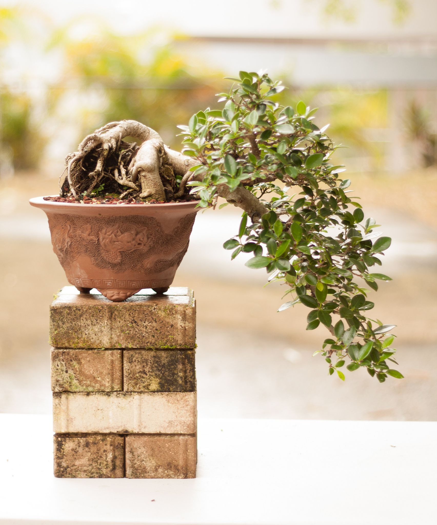 Photos Ficus And Green On Pinterest