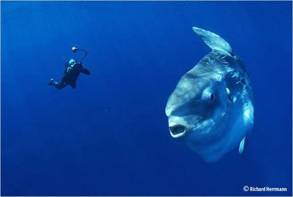 The mola mola, or ocean sunfish, the heaviest fish in the world.