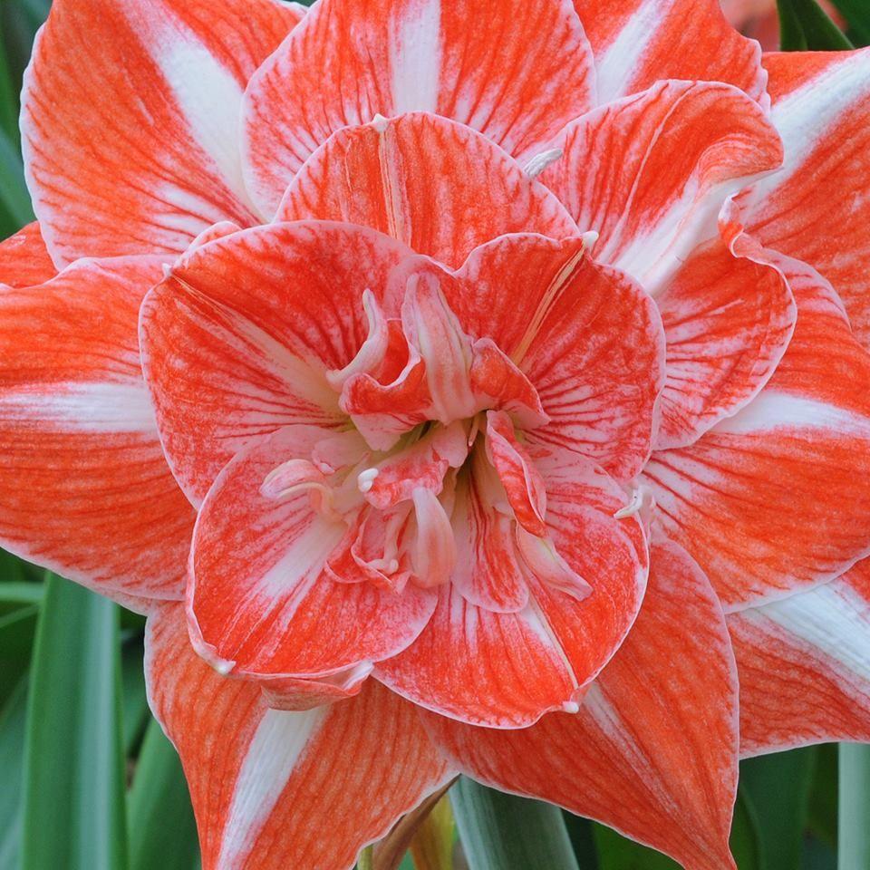Amaryllis 'Sunny Nymph' - eine Blütenschönheit mit echtem Wow-Effekt <3 Blumenzwiebelspezialist Carlos van der Veek hat sie auf facebook geteilt und viele begeisterte Kommentare bekommen. Weitere tolle Rittersterne sind auf www.fluwel.de online erhältlich.