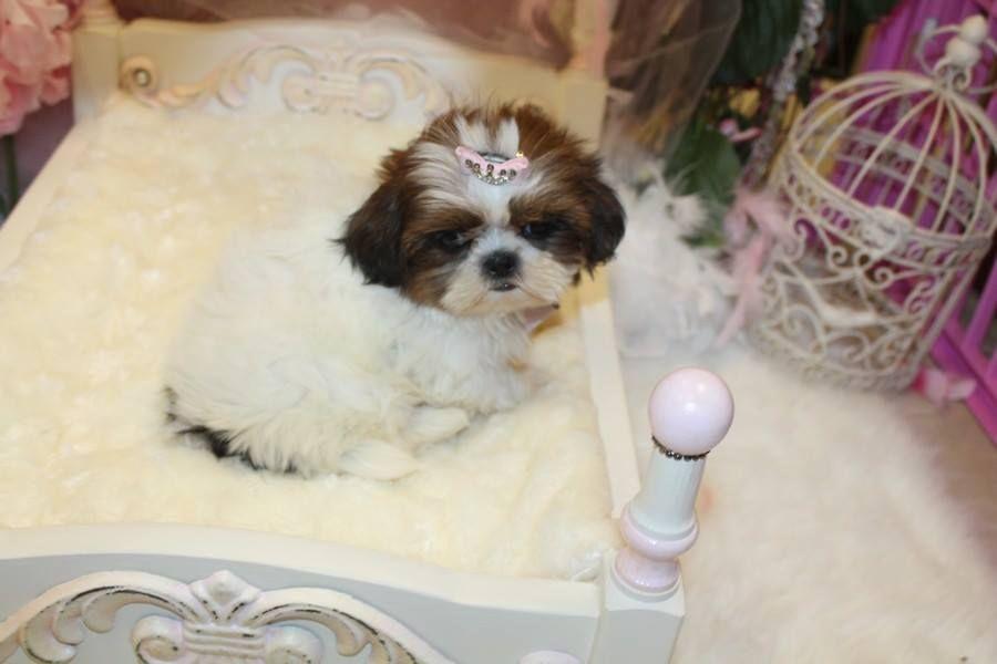 Teacup Shih Tzu Puppy For In Florida Shih Tzu Shih Tzu Dog