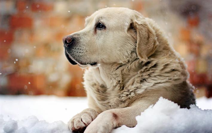 Herunterladen Hintergrundbild Golden Retriever Winter Labradors