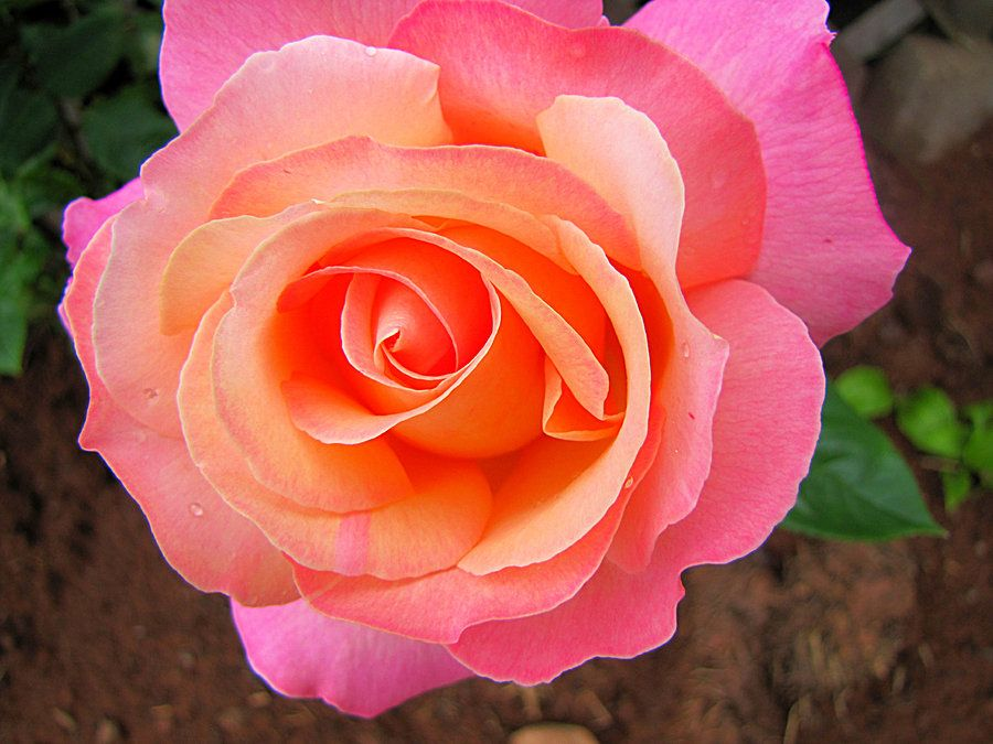Rose - Yellow Center with Orange and Pink Petals   Orange And Pink Roses