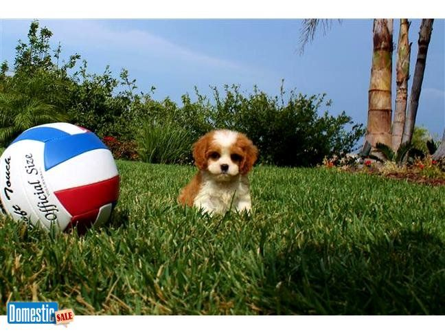 Cavapoo Puppy For Sale In San Diego So Cute Cavapoo Puppies Cavapoo Puppies For Sale Puppies For Sale