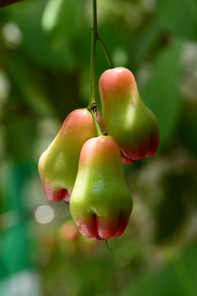 Plum-tree fruit - Image & Photo by Hung Ho from Fruits & Vegetables - Photography (30963597) | fotocommunity