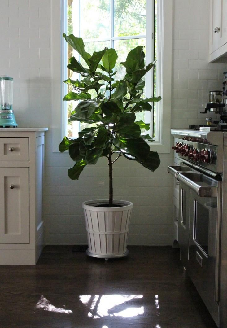 11 Ways to Keep Houseplants Happy in Winter | Fiddle leaf fig ...