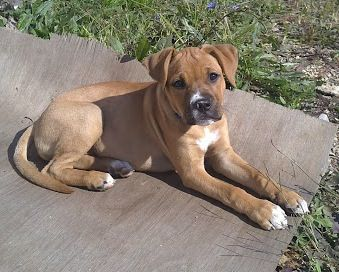 Bullboxer Google Search Pitbull Boxer Mix Puppies Boxer Mix