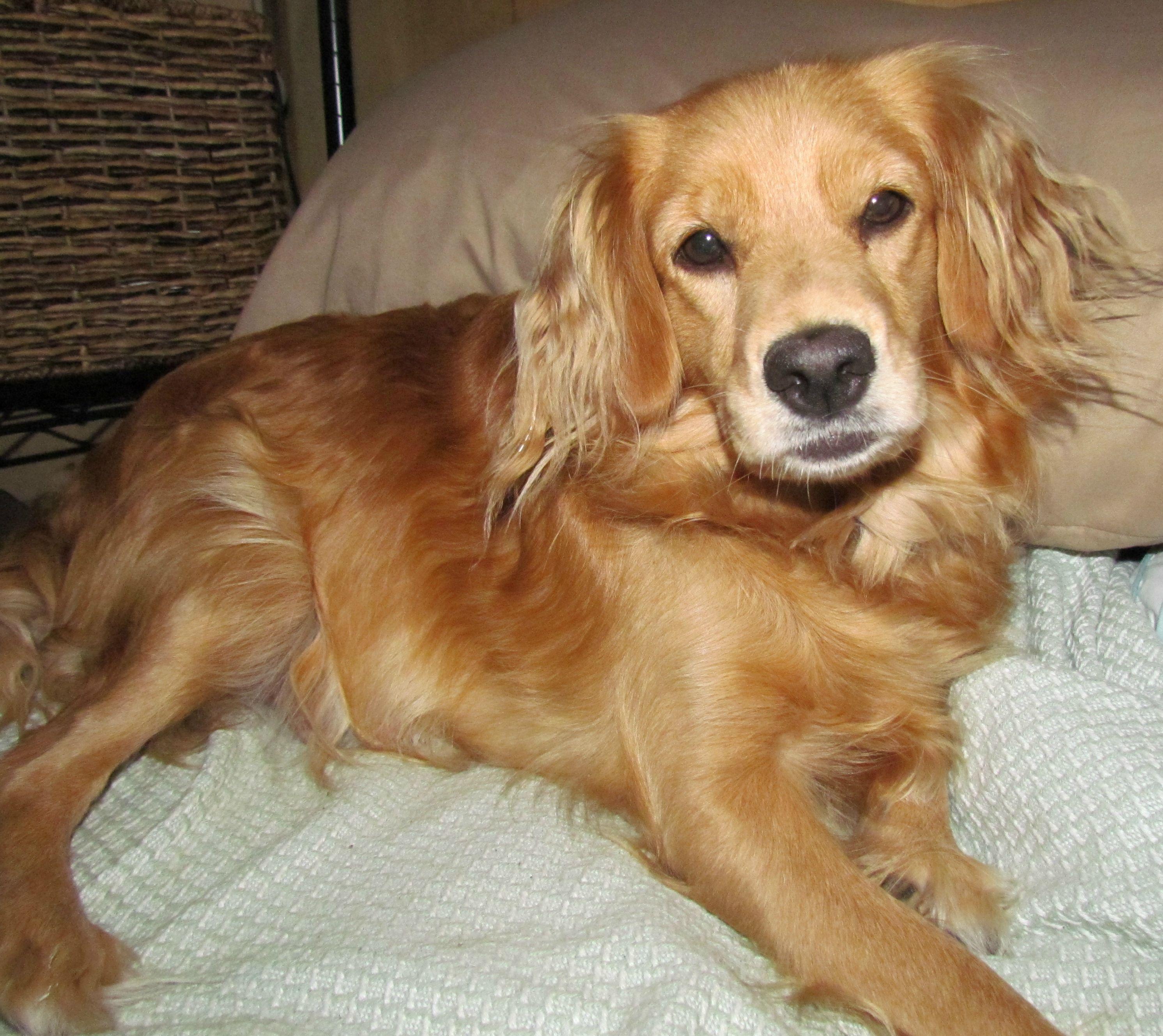 Katherine A Petite Golden Toy Golden Retriever Loyal Dogs Dogs
