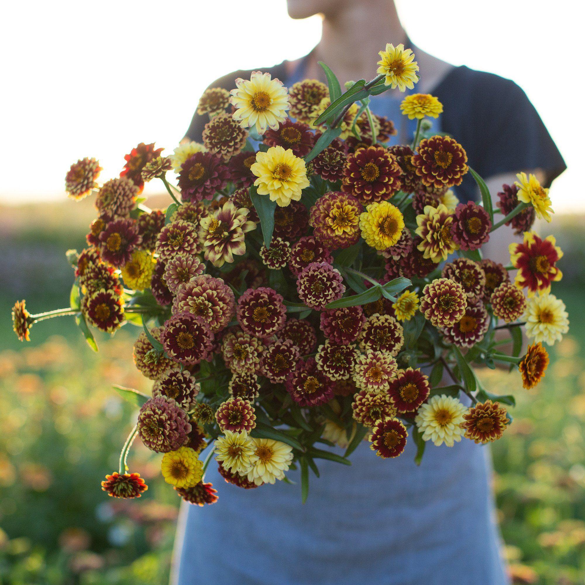 Zinnia Aztec Sunset Zinnias Flower Farm Zinnia Garden