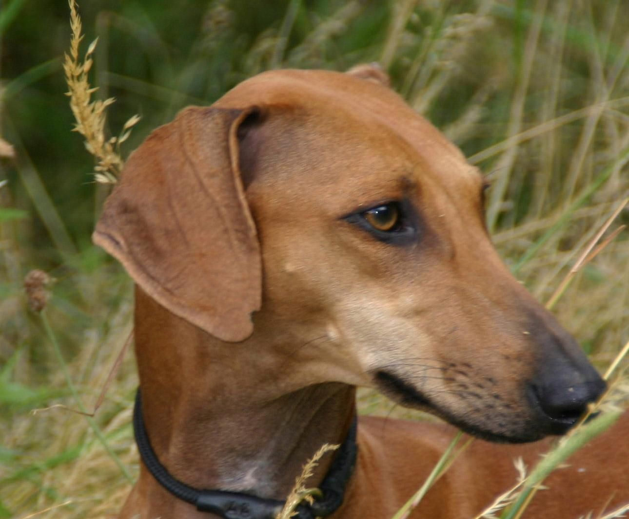 Azawakh Unique Dog Breeds Dogs Hybrid Dogs