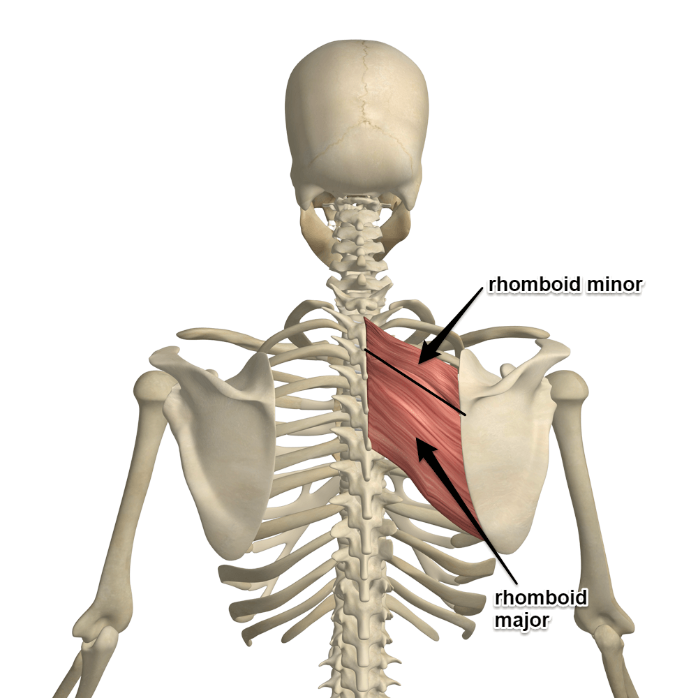 The Rhomboids Is The Muscle Of The Month At Yoganatomy Muscle