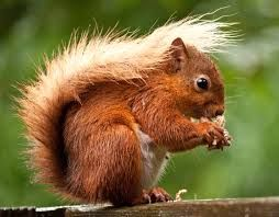 Red squirrel in the Lake District from Loving Britain blog