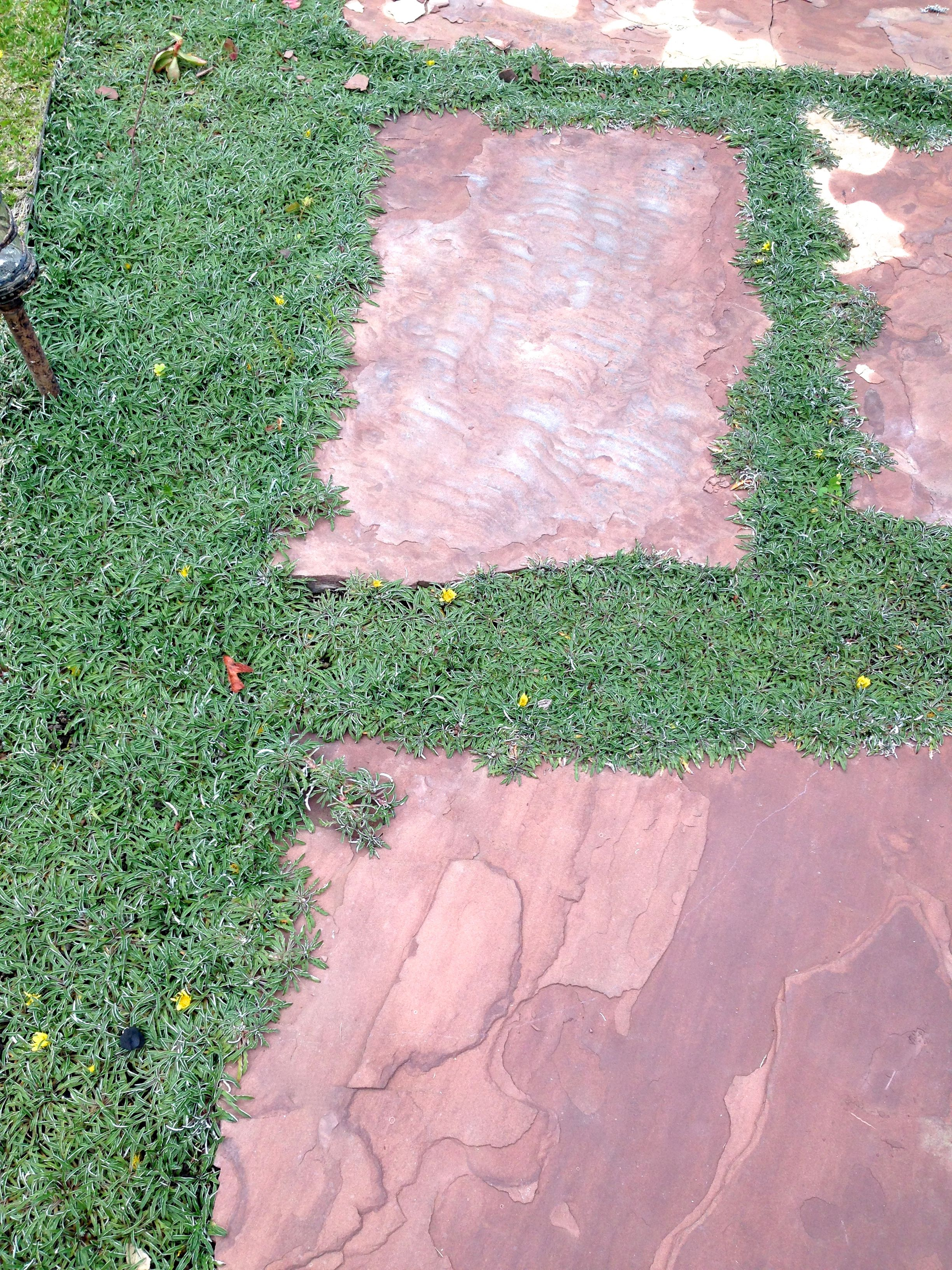 Dymondia Silver Carpet Ground Cover with flagstones walkway to ...