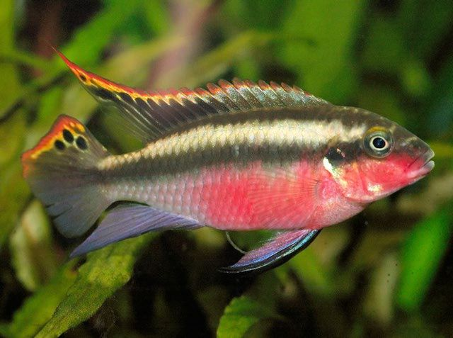 About The Colorful And Cave Dwelling Kribensis Fish Cichlids Tropical Freshwater Fish Tropical Fish Aquarium