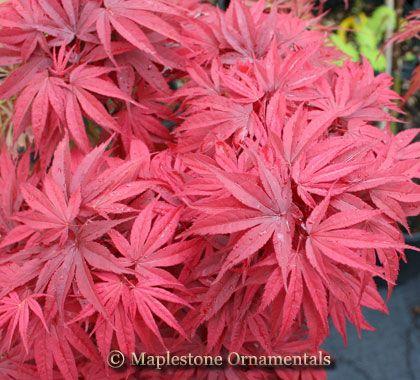 Pixie Japanese Maple Acer Palmatum Pixie Japanese Maple Fall