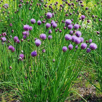Bloeiende kruidentuin aanleggen met kruiden die bloeien en lekker ruiken