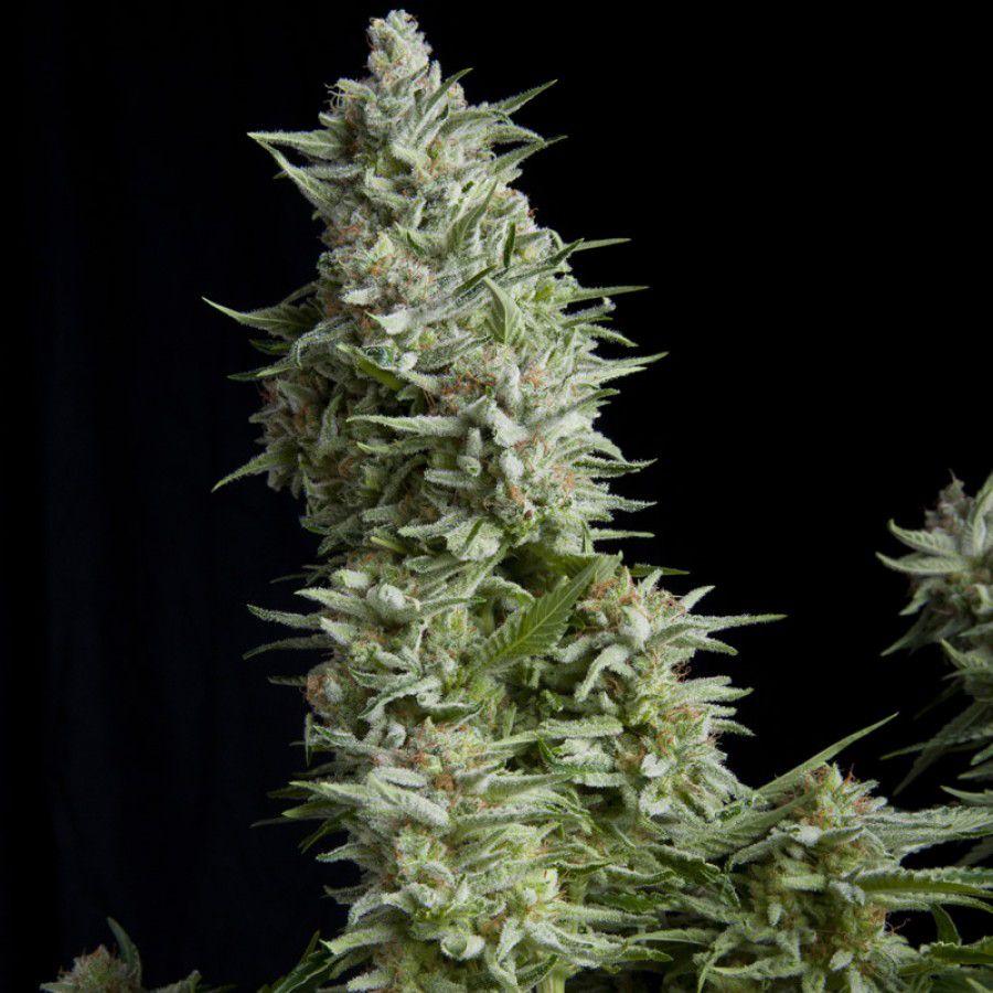 Alpujarreña (indica) FEMINIZED THC: 17 5% | CBN 0 5% | CBD 1% 10