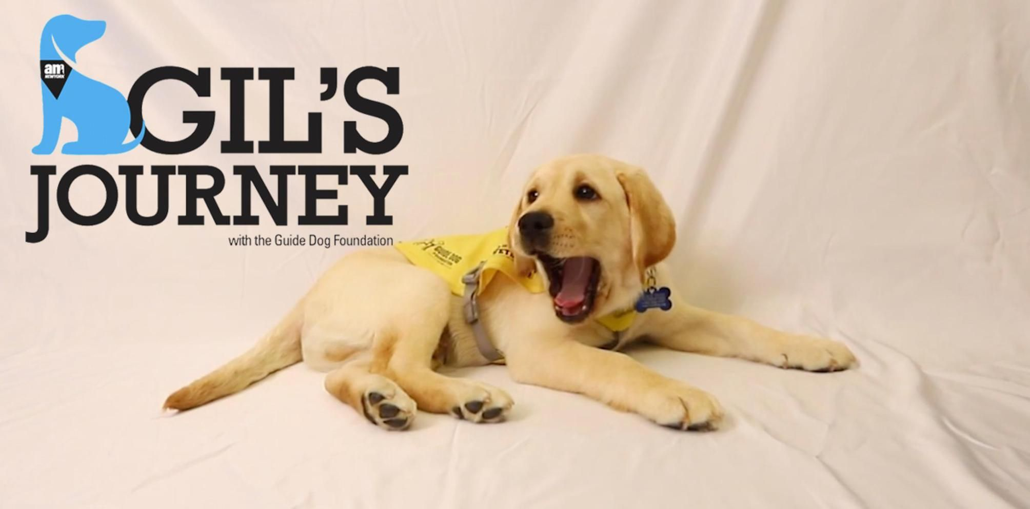 Meet Guide Dog Gil A Little Pup On A Big Journey Guide Dog