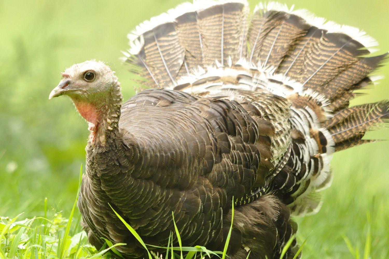 What Do Wild Turkeys Eat Wild Turkey Wild What Is A Bird