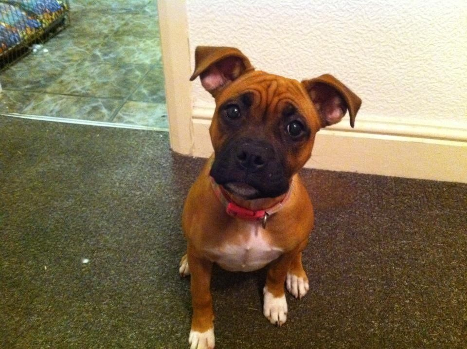 Staffordshire Bull Terrier Boxer Cross Here Is Why I Love Boston