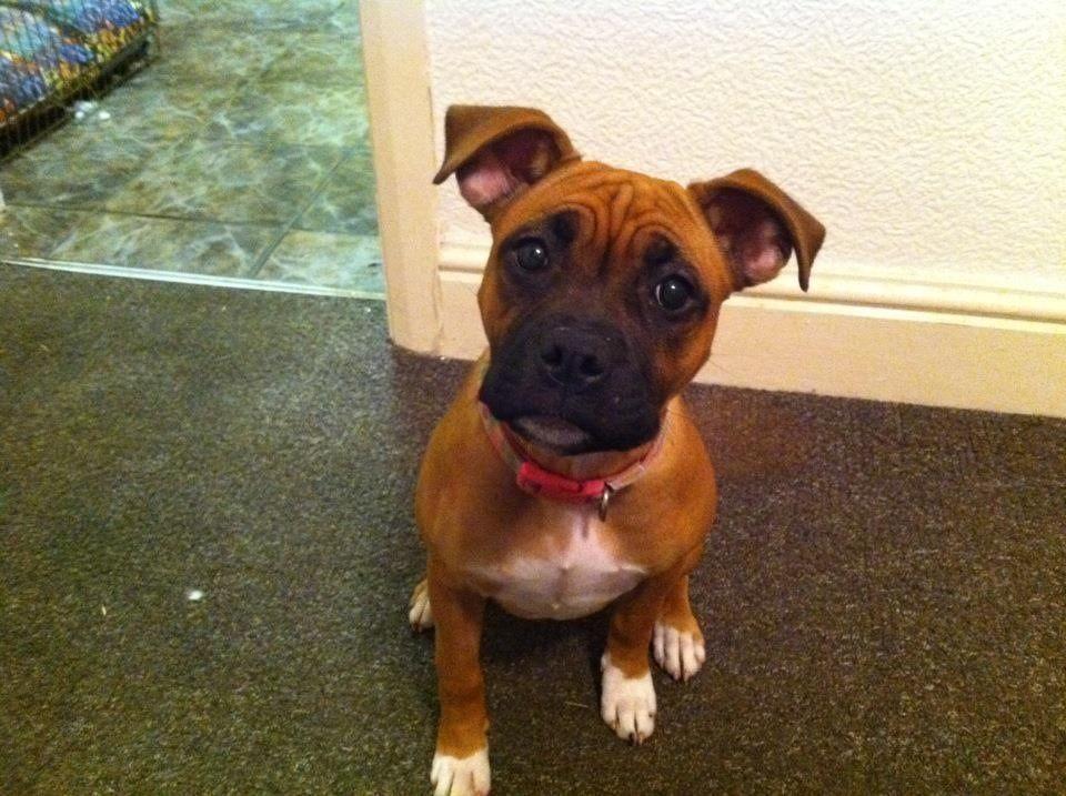 Staffordshire Bull Terrier Boxer Cross Here Is Why I Love Boston
