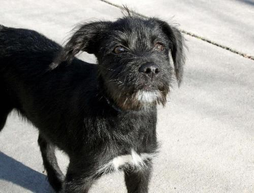 Meet Puppy Pixie A Petfinder Adoptable Schnauzer Dog Coventry Ri Hello My Name Is Pixie Ia M A 5 6 Month Old Schnauzer Terrier Mix Girl Who Weighs Hunde