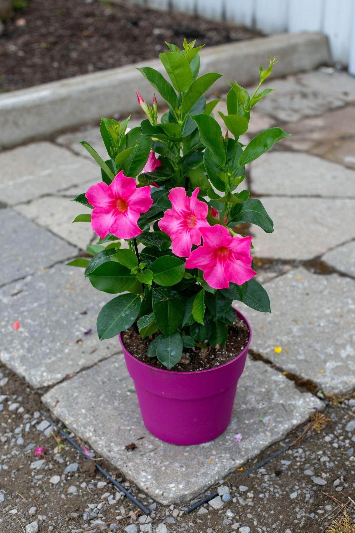 Annual Colour Pot: Dipladenia - Sheridan Nurseries Online