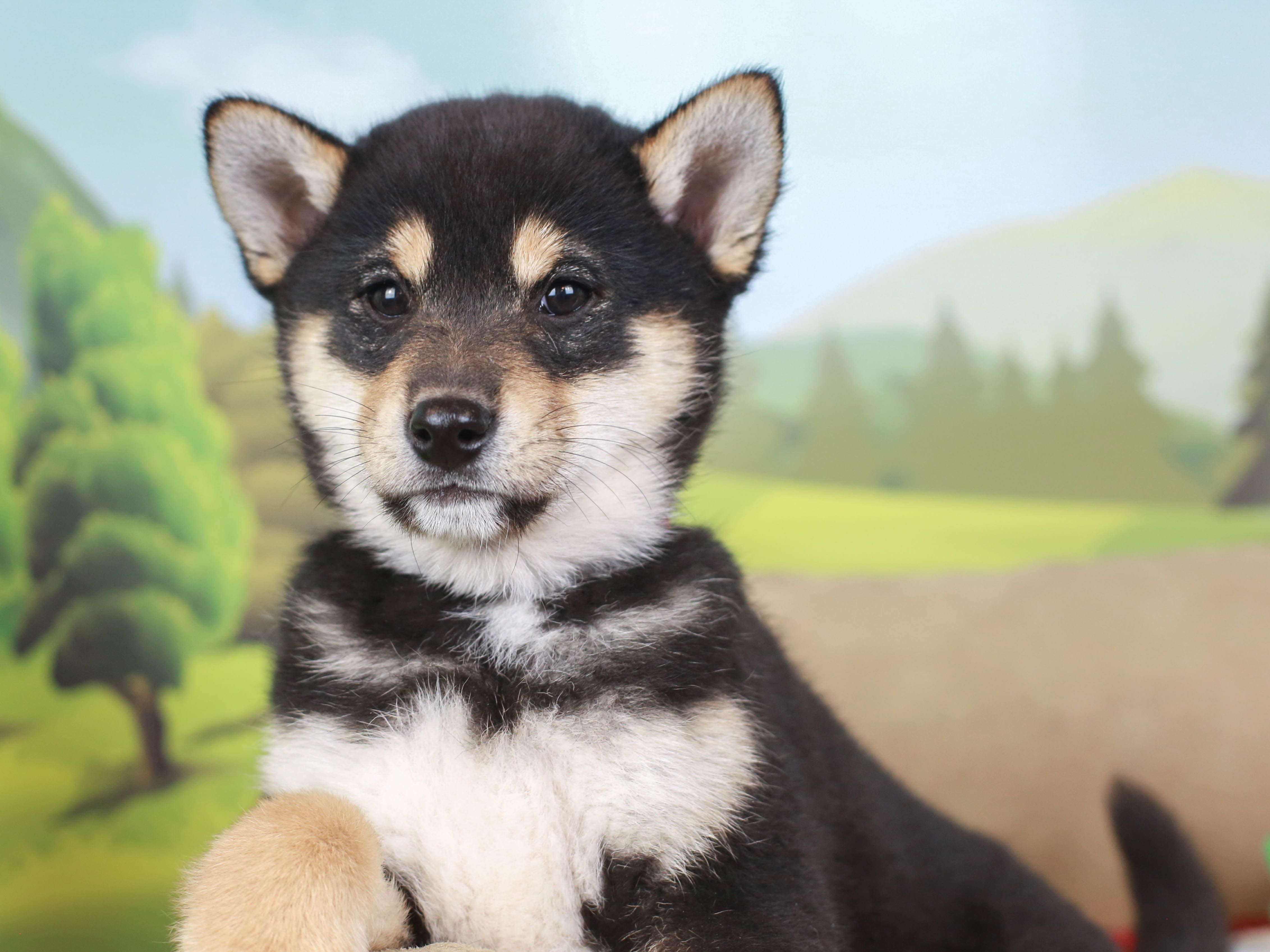 Available puppies for sale in 2020 puppies puppies for