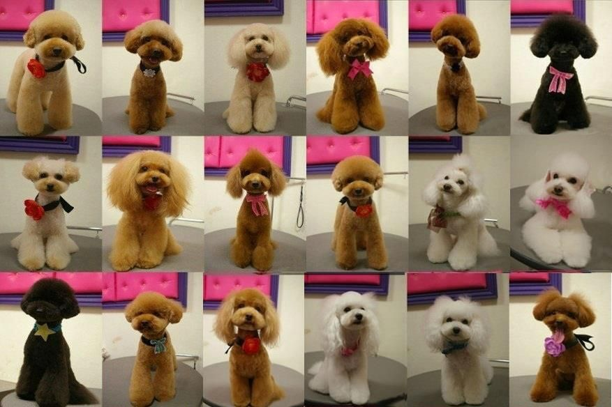 Japanese Style Grooming Page 5 Poodle Forum Standard Poodle Toy Poodle Miniature Poodle Forum All Poodle Dog Grooming Poodle Grooming Dog Grooming Diy
