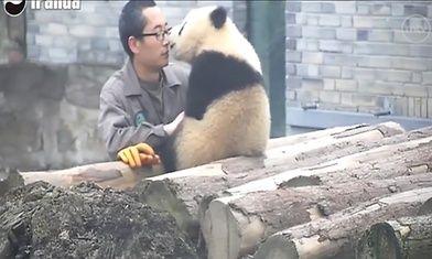 Video: Suloinen panda ei pelkää kameraa – poseeraa selfiessä - Ulkomaat - Uutiset - MTV.fi