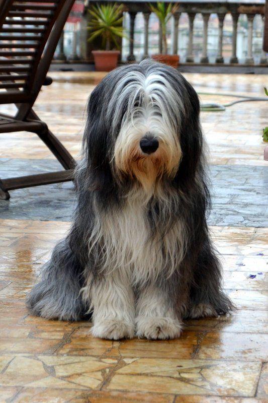 La Bande Des Faineantes La Foto Della Domenica Settimana Di Pioggia Dog Bearding Bearded Collie Bearded Collie Puppies