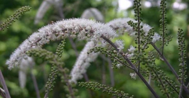 Actaea simplex 'Prichard's Giant'