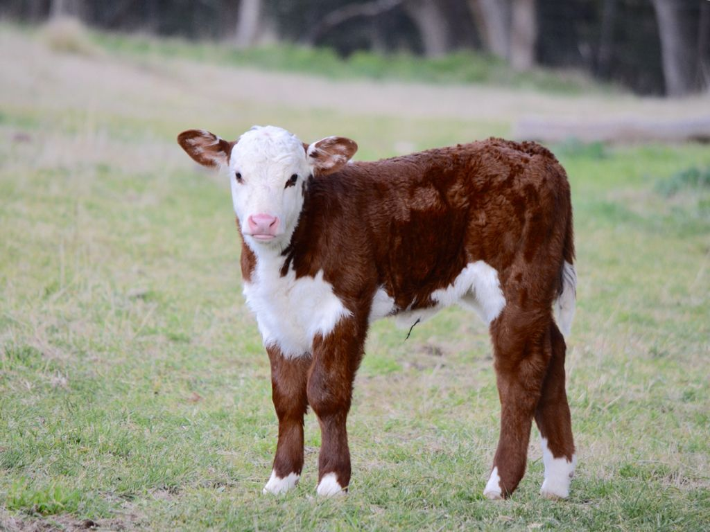Calf Poll Hereford Beau River | cows | Hereford cows