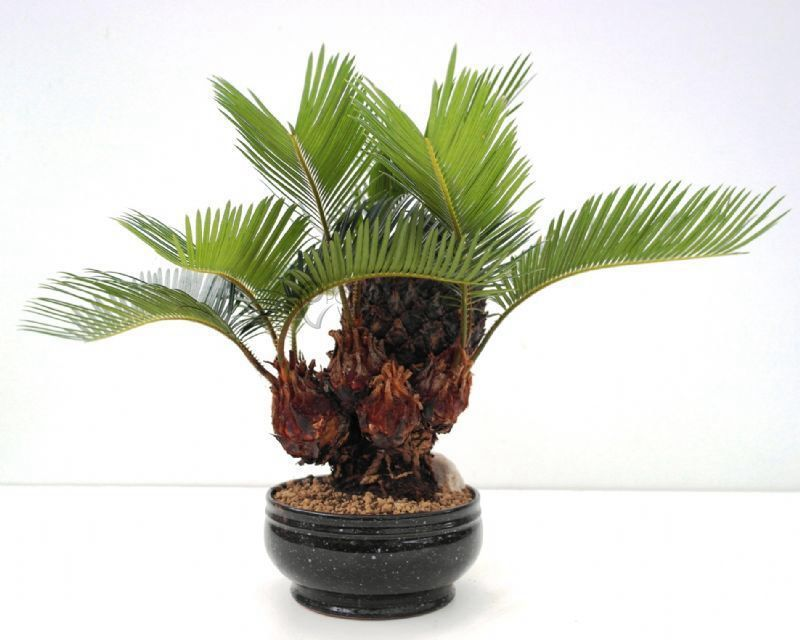 Image from for Bonsai vasi