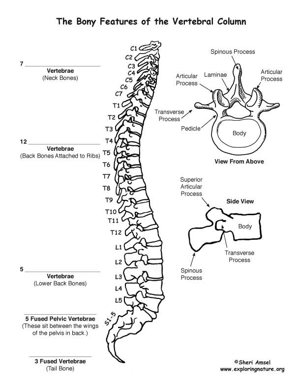 Backbone Vertebral Column Labeling Page Anatomy Coloring Book Human Anatomy And Physiology Basic Anatomy And Physiology