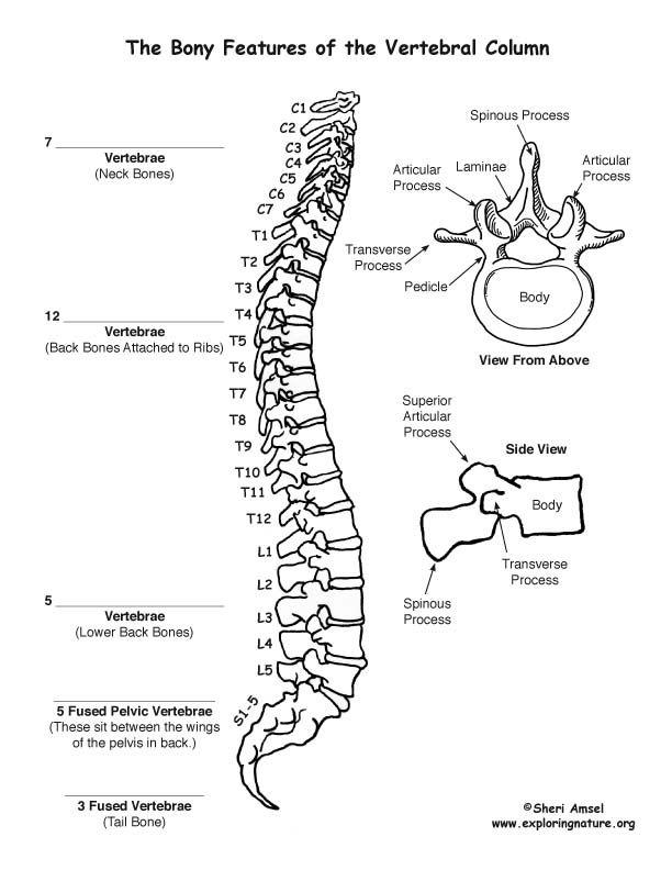 Backbone (Vertebral Column) Labeling Page | Anatomy - The Skeletal ...