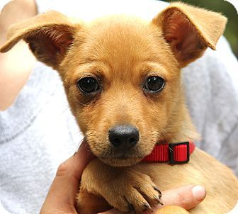 Minnetonka Mn Chihuahua Beagle Mix Meet Taylor A Puppy For