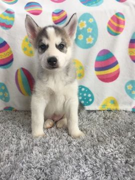 Siberian Husky Puppy For Sale In Belvidere Il Adn 27250 On