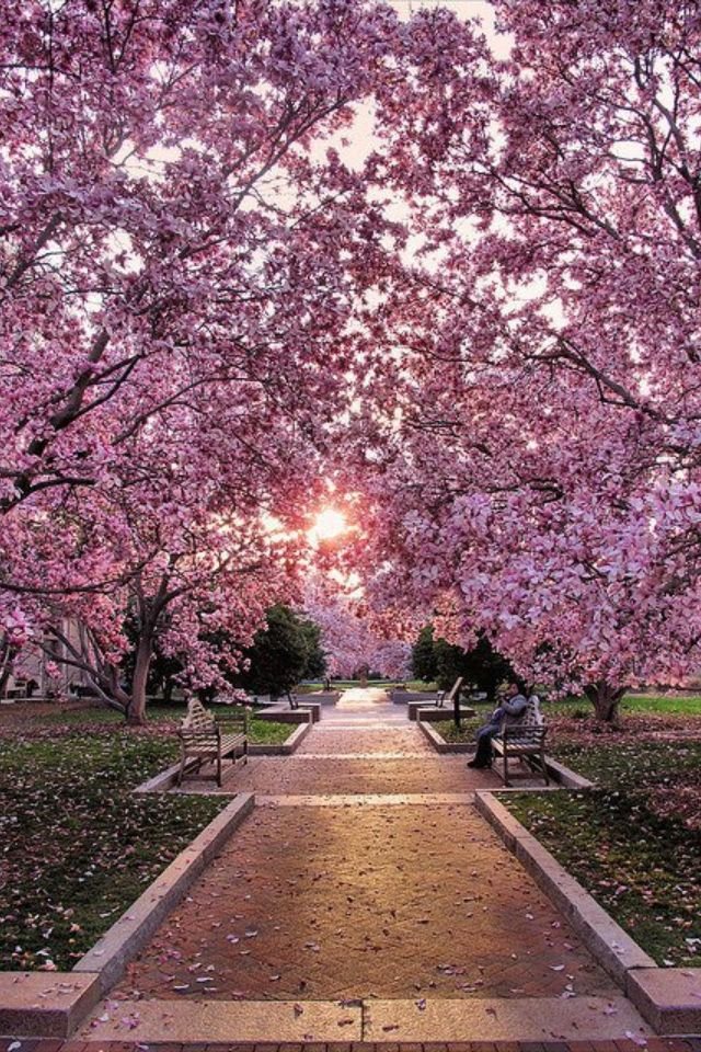 Washington D C Cherry Blossom Festival Beautiful Nature Beautiful Places Places
