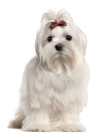 Maltese Dogs Maltese Dogs Dog Breeds Small Dogs