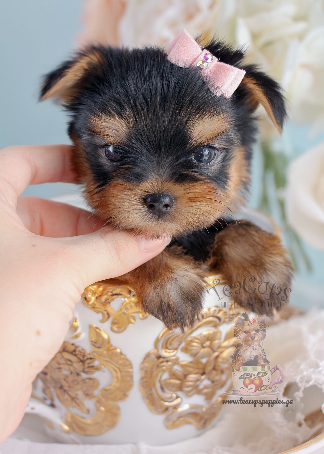 Teacup Yorkie Puppies Known As Yorkshire Terrier Available Now For Re Homing If You Need A Best F Yorkshire Terrier Puppies Yorkie Puppy Cute Dogs And Puppies