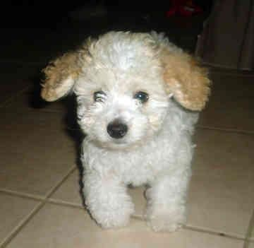 Chedda Baby Look Alike Toy Poodle White Toy Poodle Poodle Puppy