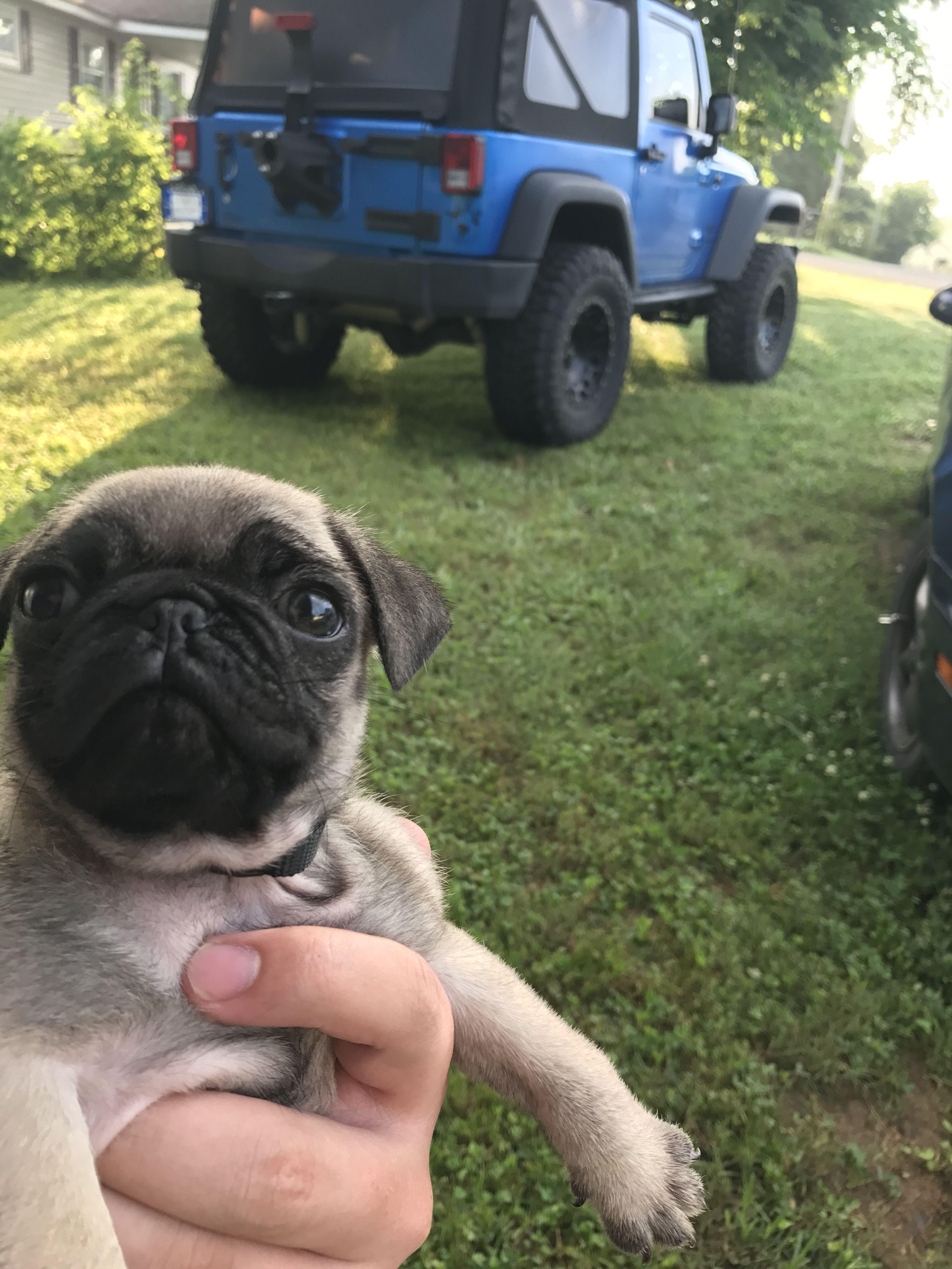 Jeep pug Cute baby animals, Pugs, Baby animals